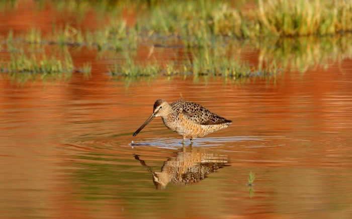 Long-billed Dowitcher (23) (1024x639)