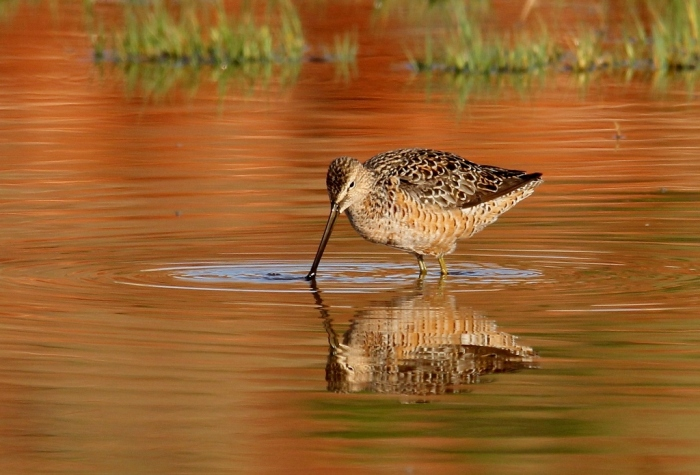 Long-billed Dowitcher (25) (1024x696)