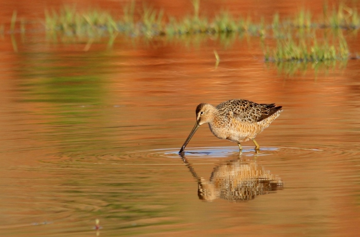 Long-billed Dowitcher (27) (1024x676)