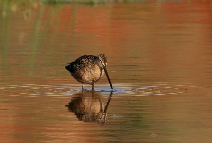 Long-billed Dowitcher (32) (1024x692)