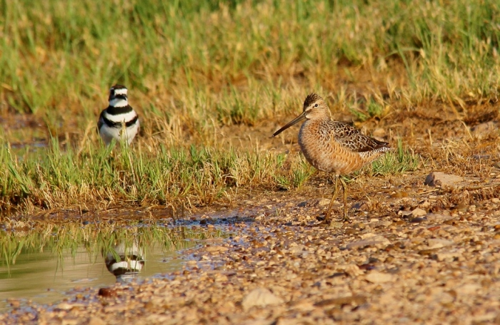 Long-billed Dowitcher and Killdeer (2) (1024x668)