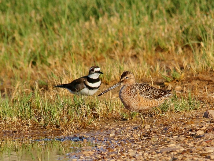 Long-billed Dowitcher and Killdeer (5) (1024x773)