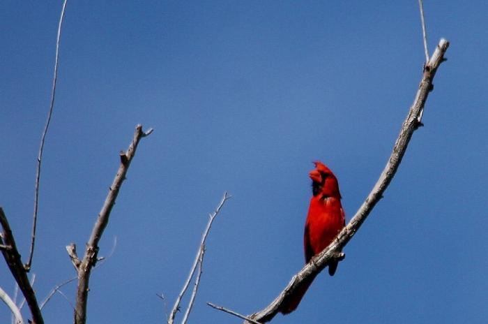 Northern Cardinal (17) (1024x679)