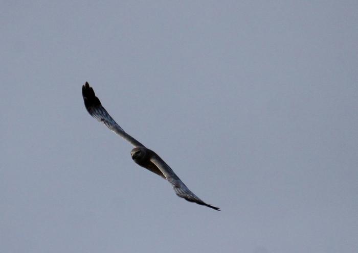 Northern Harrier (15) (1024x727)