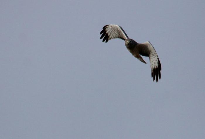 Northern Harrier (16) (1024x698)