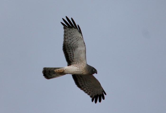 Northern Harrier (21) (1024x698)