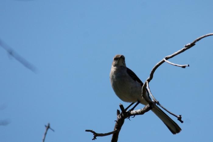 Northern Mockingbird (6) (1024x684)