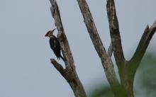 Pileated Woodpecker (4) (1024x642)