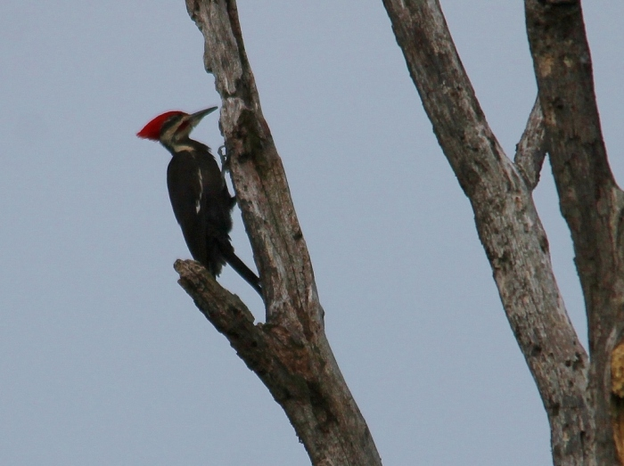 Pileated Woodpecker (6) (1024x766)