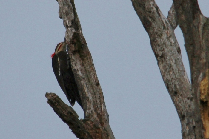 Pileated Woodpecker (9) (1024x683)