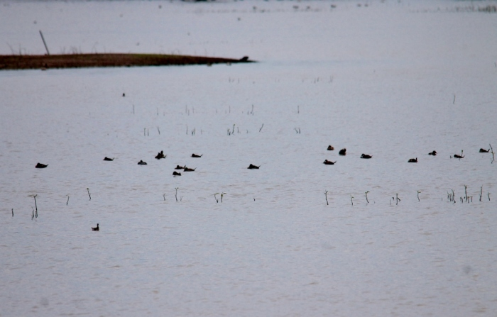 Ruddy Duck (1024x654)