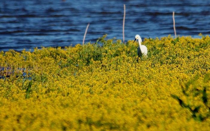 Snowy Egret (4) (1024x641)