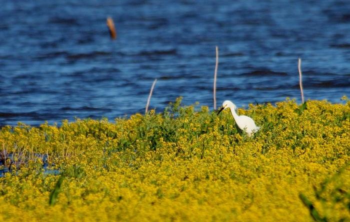 Snowy Egret (5) (1024x652)