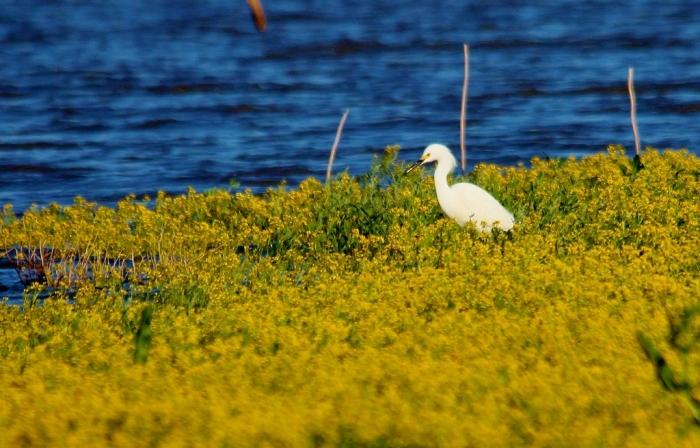 Snowy Egret (7) (1024x656)