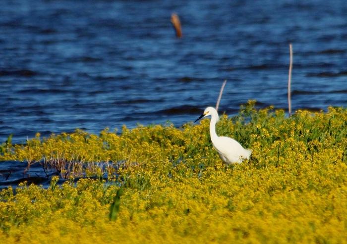 Snowy Egret (9) (1024x722)