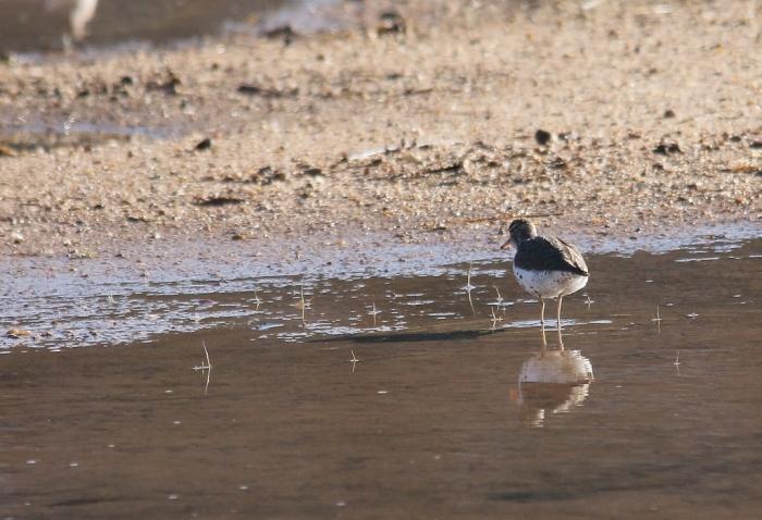 Spotted Sandpiper (1024x700)