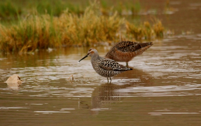 Stilt Sandpiper and Long-billed dowitcher (1) (1024x642)