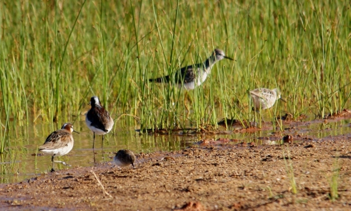 Wilson's Phalarope,  Lesser Yellowlegs, and Lesser Sandpiper (3) (1024x645)