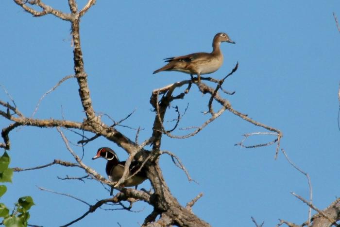 Wood Duck (3) (1024x684)