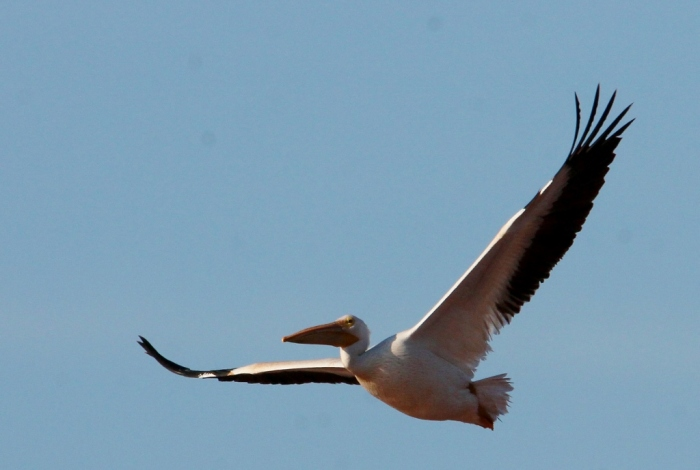 American White Pelican (102) (1024x689)