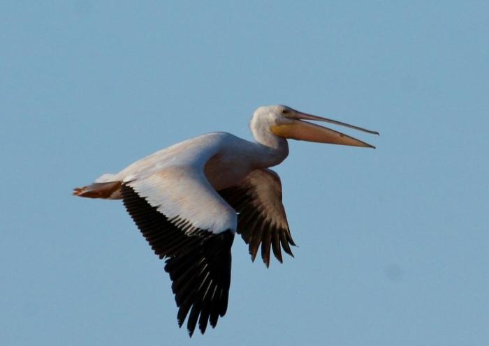 American White Pelican (81) (1024x727)