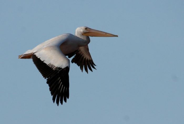 American White Pelican (83) (1024x688)