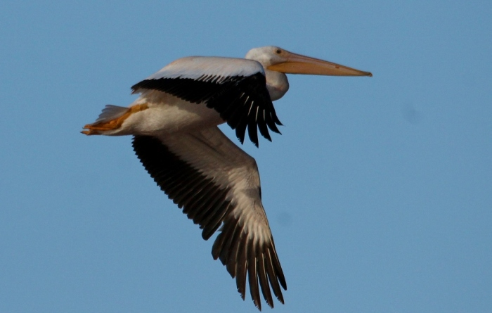 American White Pelican (90) (1024x652)