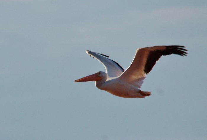American White Pelican (94) (1024x696)