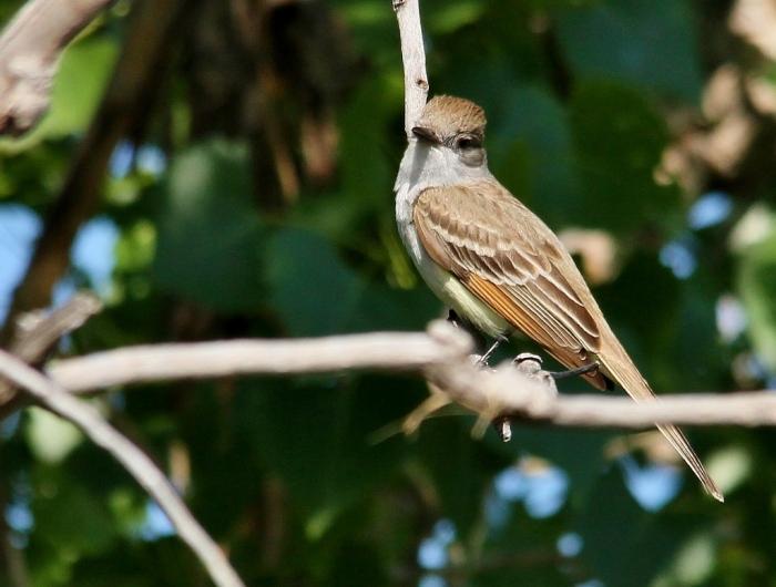 Ash-throated Flycatcher (5) (1024x776)