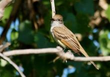 Ash-throated Flycatcher (6) (1024x717)