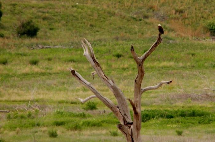 Bald Eagle (1) (1024x677)