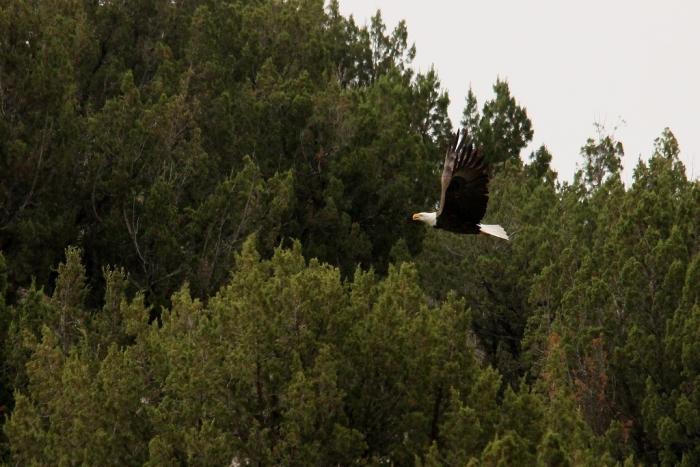 Bald Eagle (11) (1024x684)