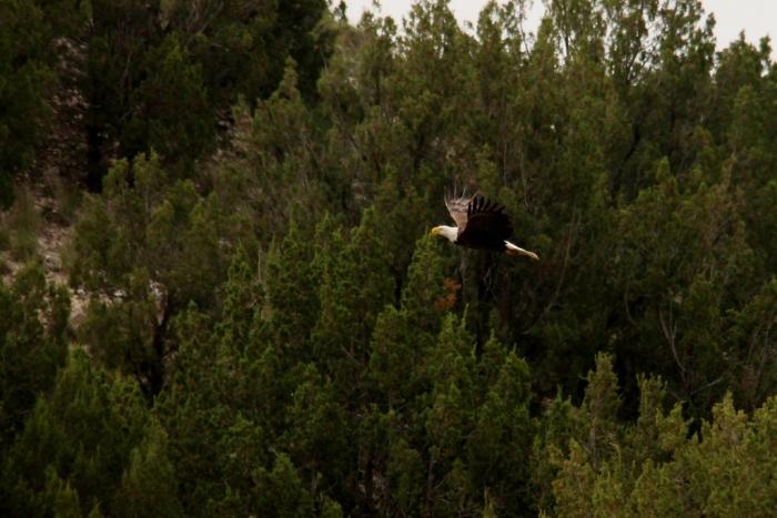 Bald Eagle (12) (1024x684)