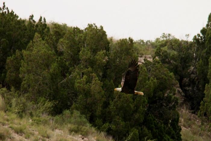 Bald Eagle (15) (1024x684)