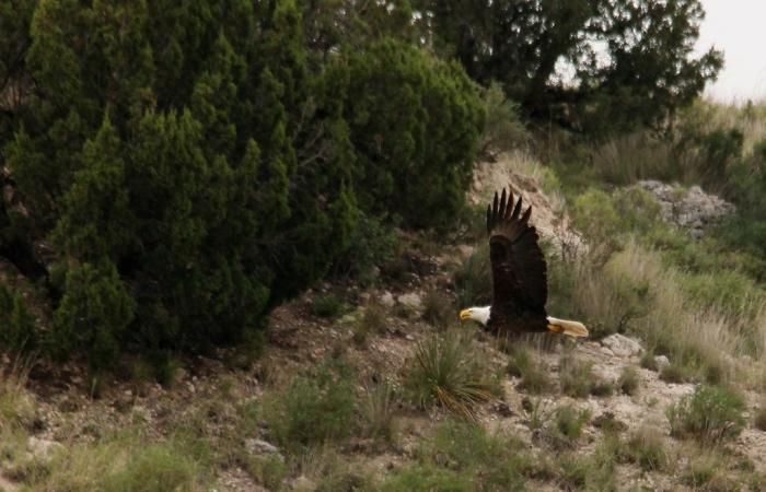 Bald Eagle (17) (1024x659)