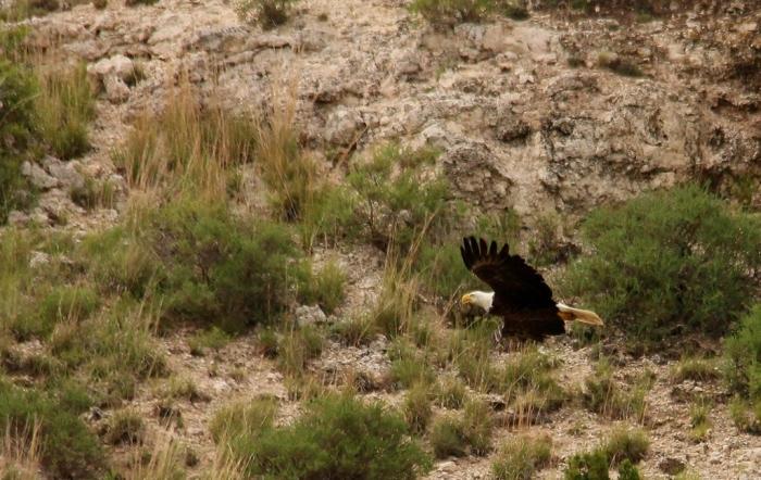 Bald Eagle (19) (1024x648)