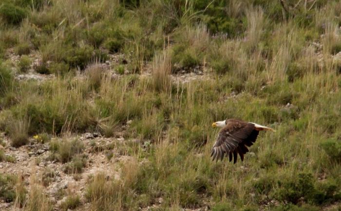 Bald Eagle (21) (1024x636)