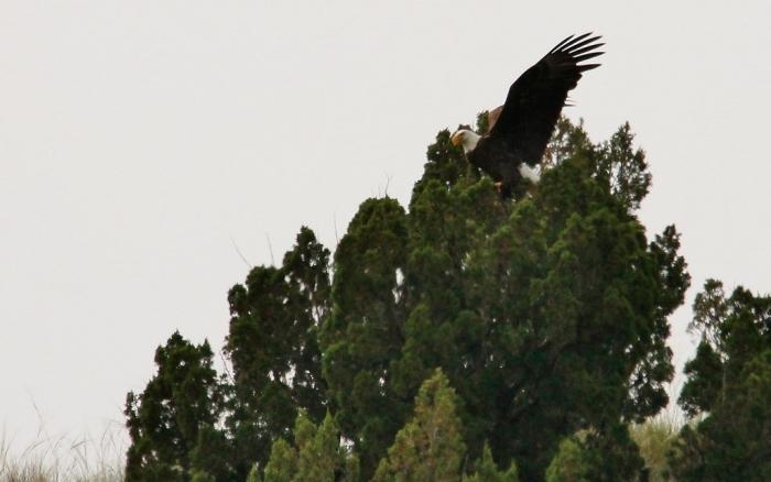 Bald Eagle (25) (1024x641)