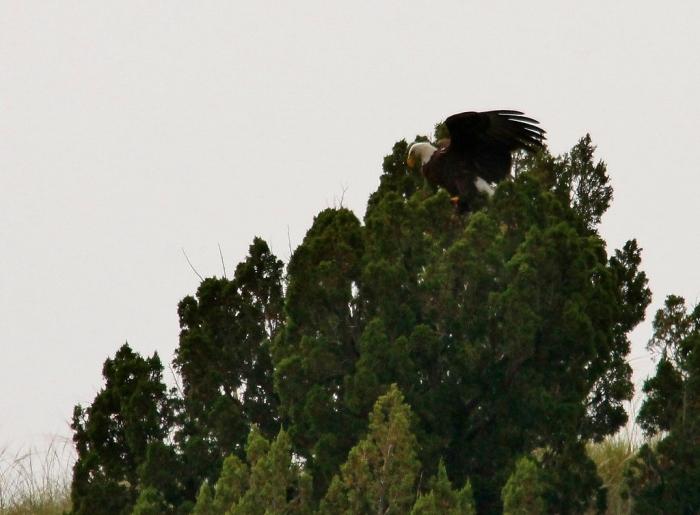 Bald Eagle (28) (1024x754)
