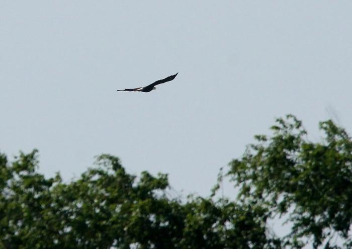 Bald Eagle (32) (1024x725)