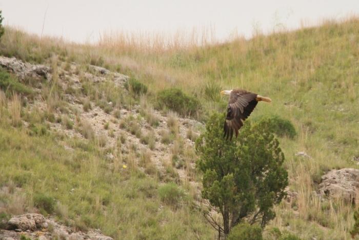 Bald Eagle (7) (1024x684)