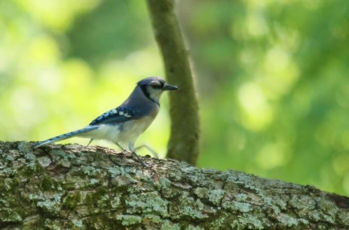 Blue Jay (1024x676)