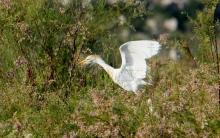 Cattle Egret (15) (1024x643)