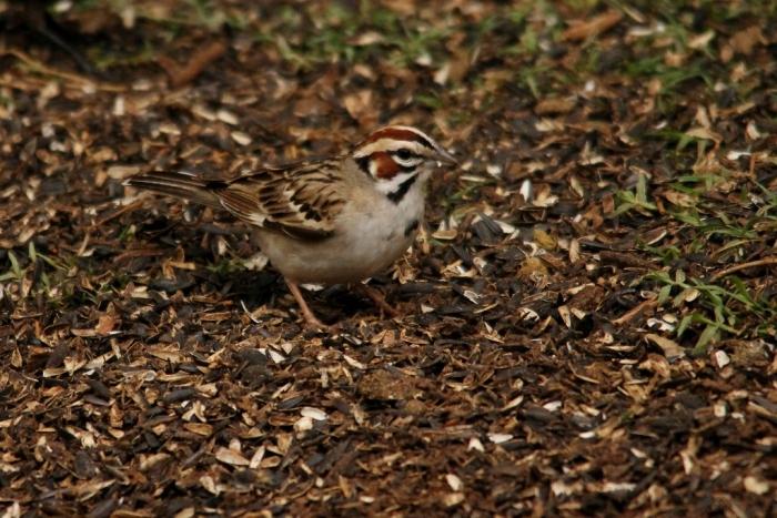 Lark Sparrow (1024x684)