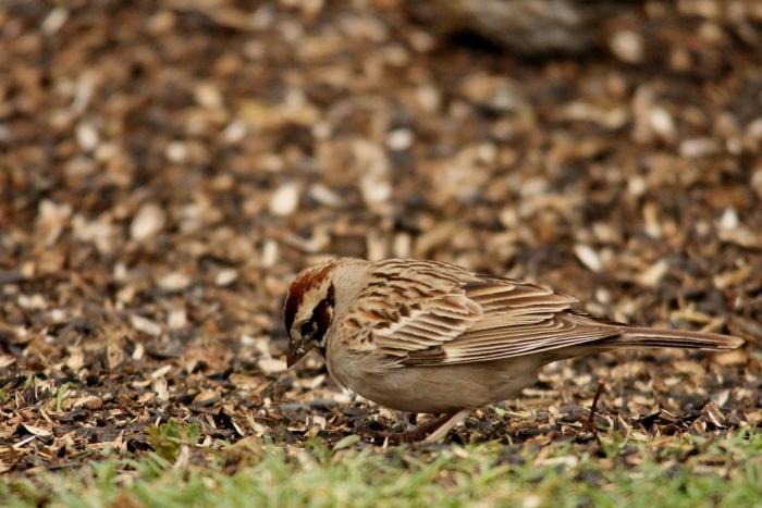 Lark Sparrow (9) (1024x684)