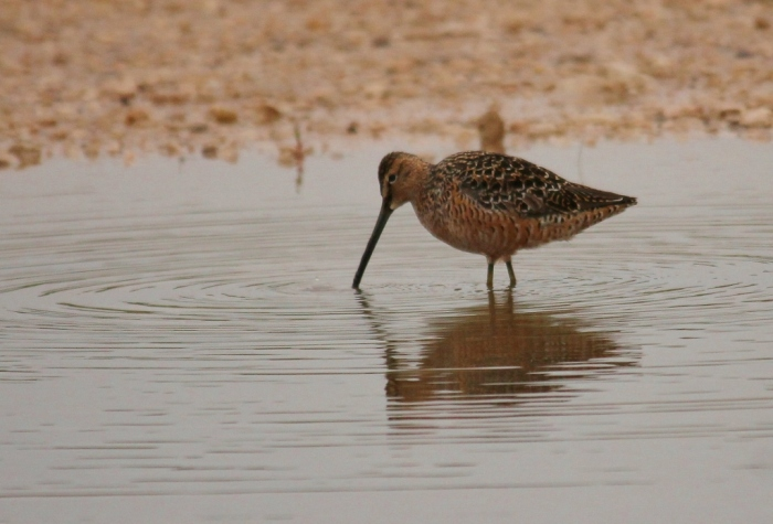 Long-billed Dowitcher (33) (1024x695)