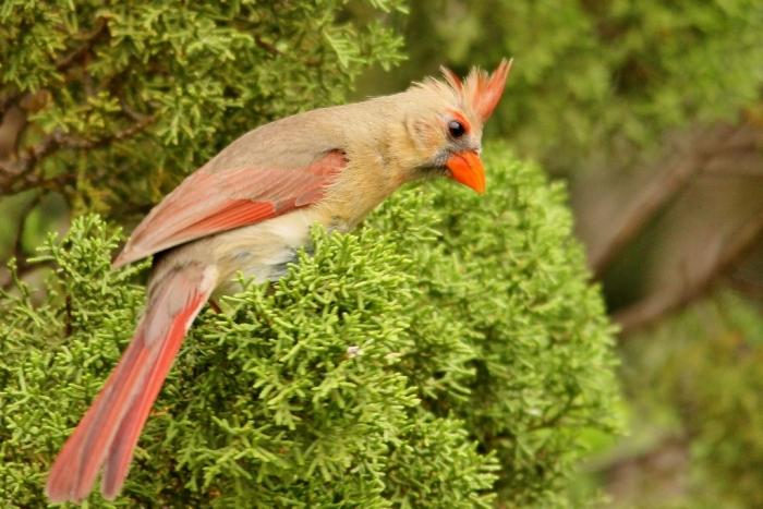 Northern Cardinal (19) (1024x684)
