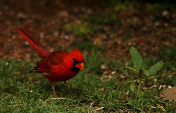 Northern Cardinal (20) (1024x660)