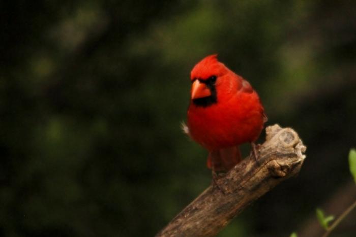 Northern Cardinal (22) (1024x684)