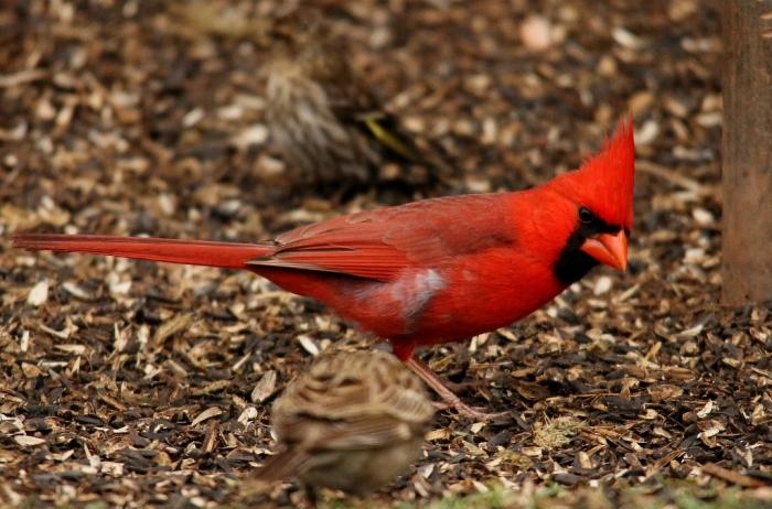 Northern Cardinal (23) (1024x677)